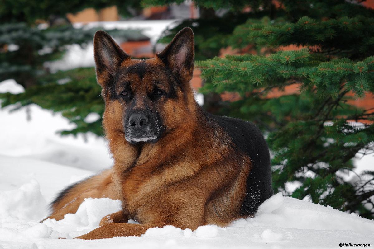 смотреть собак немецких овчарок картинки